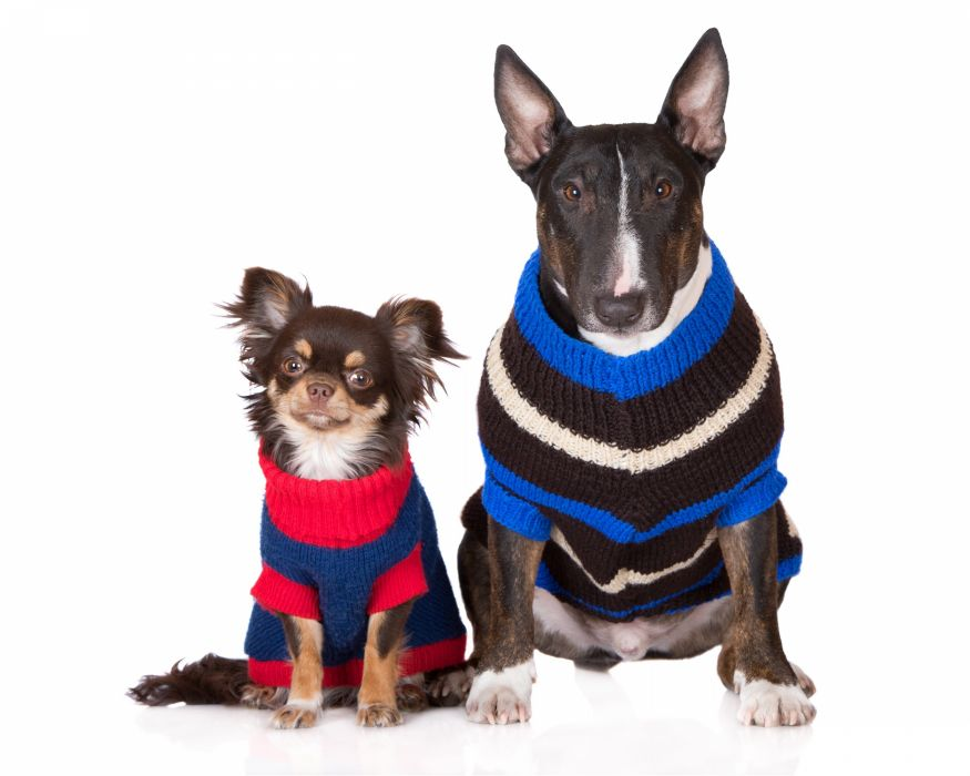 Dogs White background Two Chihuahua Bull Terrier Uniform Sweater Animals wallpapers wallpaper