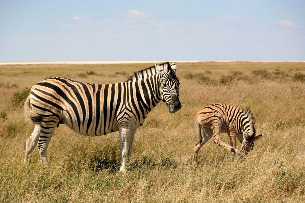 Zebras Cubs Grass Two Animals wallpaper
