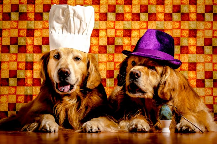 Dogs Two Retriever Hat Animals wallpapers wallpaper
