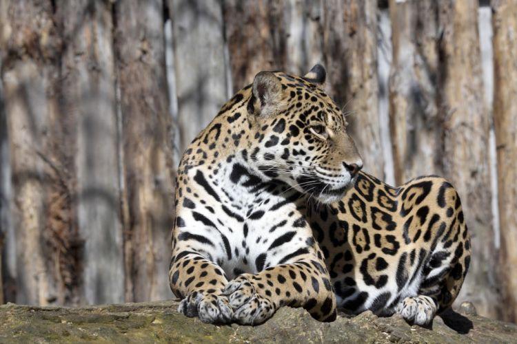 Jaguars Big cats Animals wallpaper