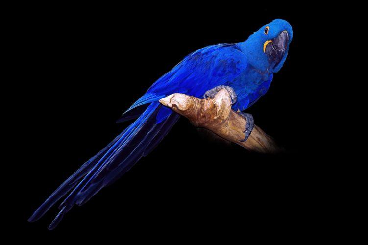 Birds Parrots Blue Black background Hyacinth Macaw Animal wallpaper