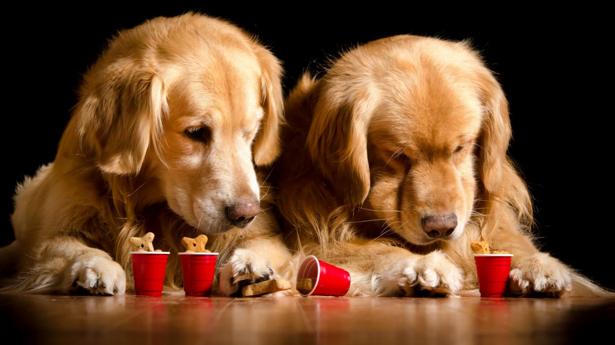 Dogs Retriever Two Black background Animals wallpapers wallpaper