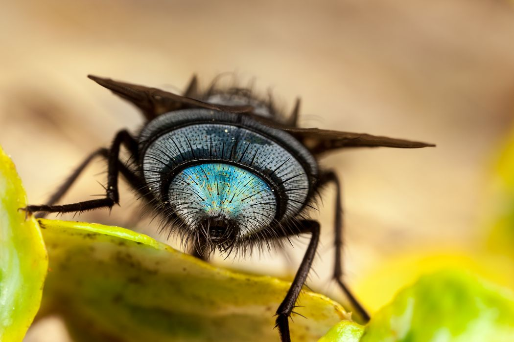 Flies Closeup Animals wallpapers wallpaper