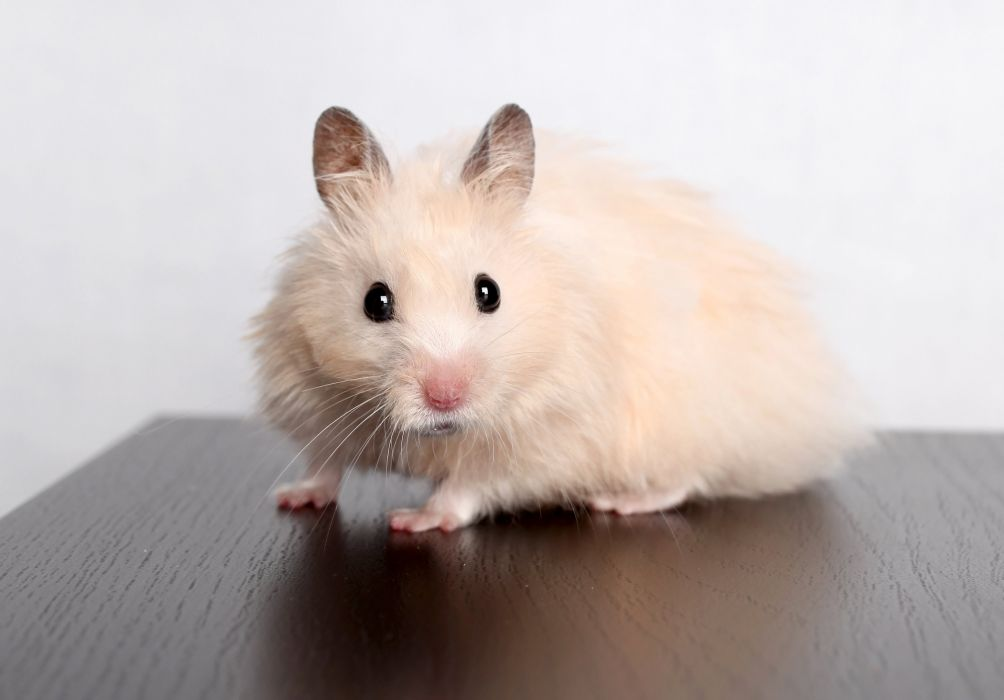Rodents Hamsters Glance White Animals wallpapers wallpaper