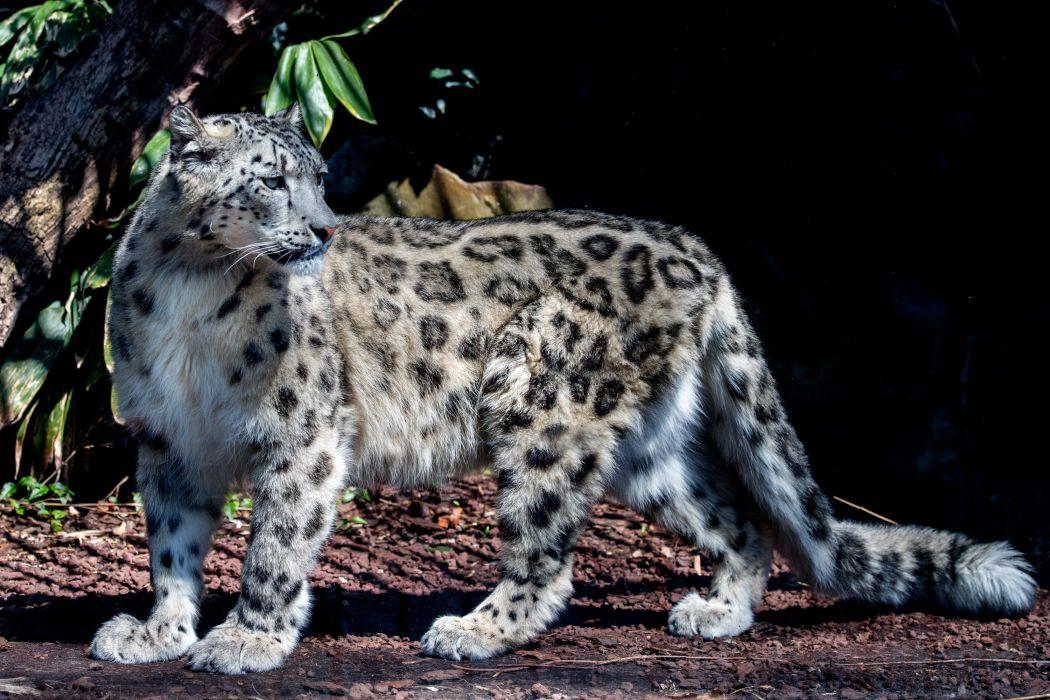 Big cats Snow leopards Animals wallpapers wallpaper