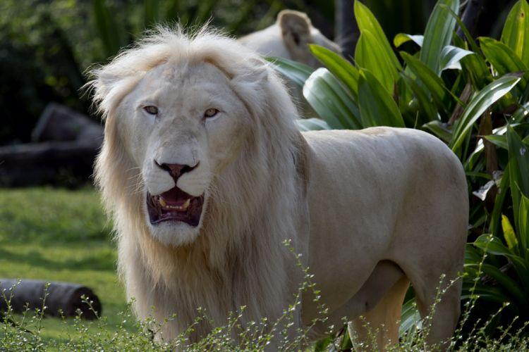 Big cats Lions Animals wallpapers wallpaper