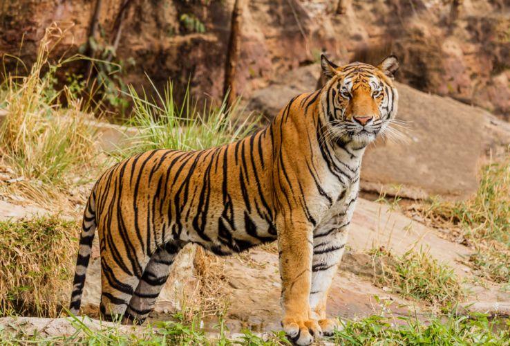 Big cats Tigers Animals wallpapers wallpaper