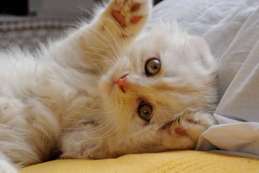Cats Kittens White Paws Scottish Fold Animals wallpapers wallpaper