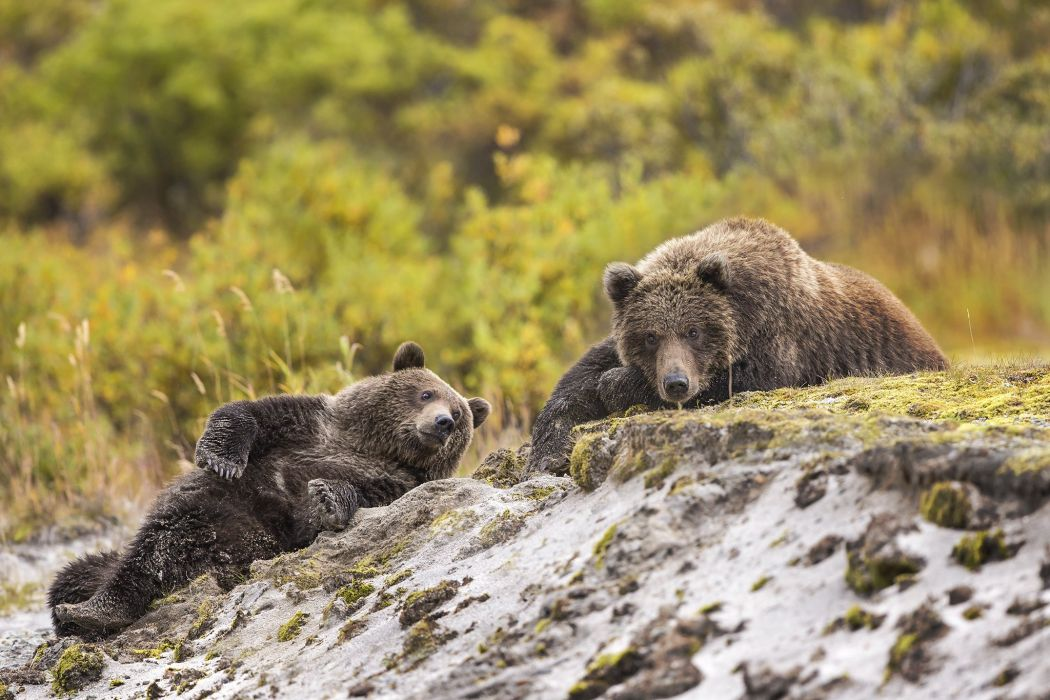 Bears Brown Bears Two Animals wallpapers wallpaper