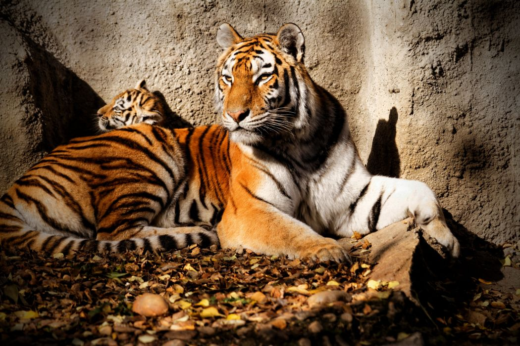 Big cats Tigers Cubs Glance Animals wallpapers wallpaper