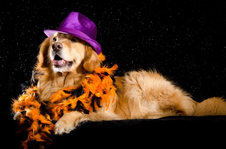Dogs Black background Retriever Hat Glance Animals wallpapers wallpaper