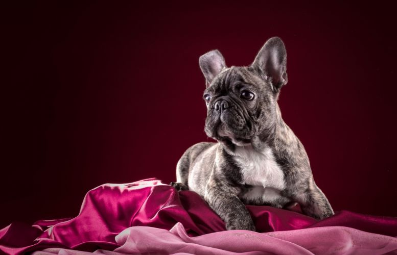 Dogs Bulldog French Animals wallpapers wallpaper
