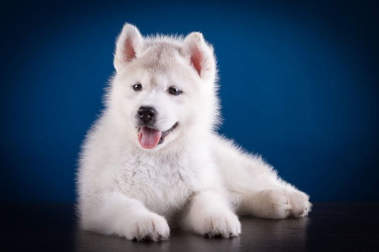 Dogs Husky Puppy White Animals wallpapers wallpaper