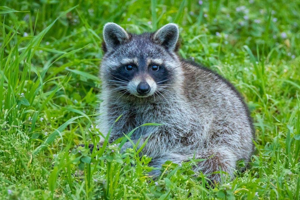 Raccoons Grass Animals wallpapers wallpaper