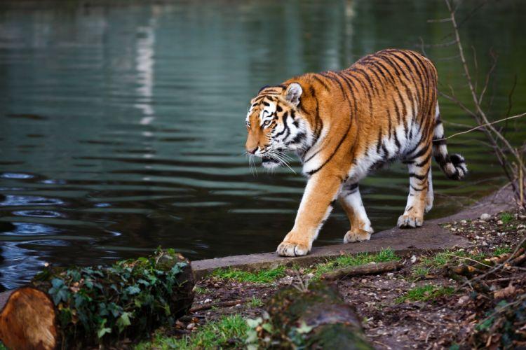 Tigers Coast Animals wallpapers wallpaper