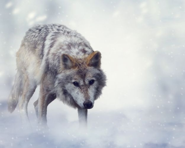 Wolves Animals wallpapers wallpaper