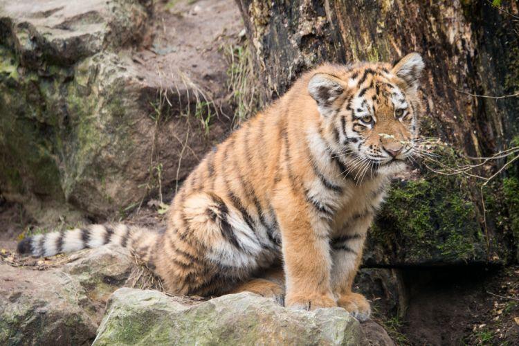 Tigers Cubs Animals wallpapers wallpaper