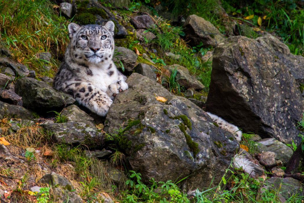 Big cats Snow leopards Stones Animals wallpapers wallpaper