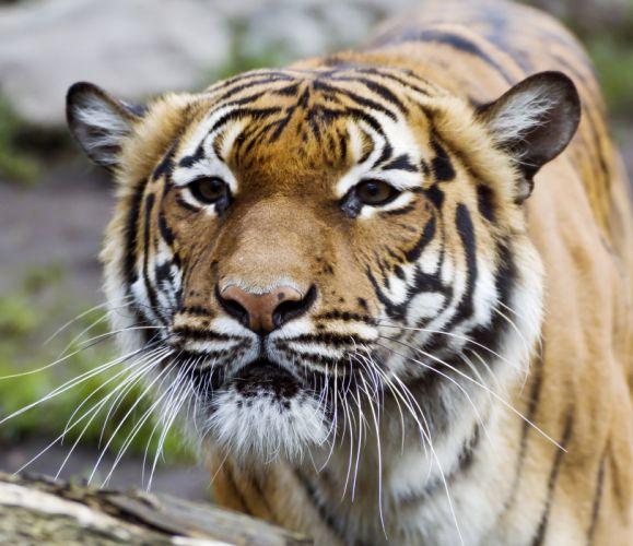 Big cats Tigers Snout Animals wallpapers wallpaper