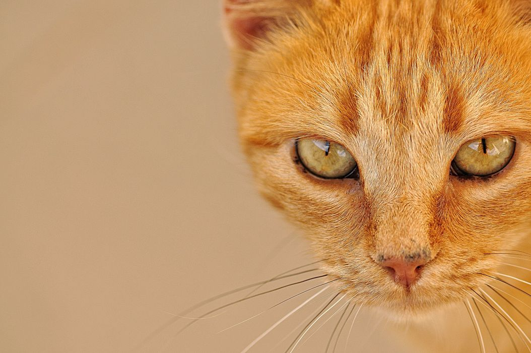 Cats Ginger color Glance Snout Colored background Animals wallpapers wallpaper