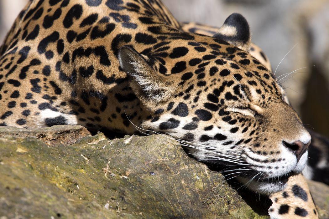Big cats Jaguars Snout Sleep Animals wallpapers wallpaper