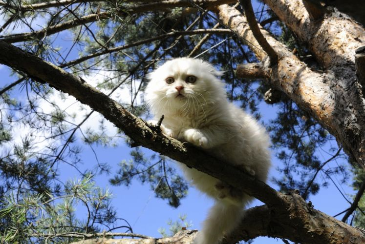 Cats White Branches Scottish Fold Animals wallpapers wallpaper