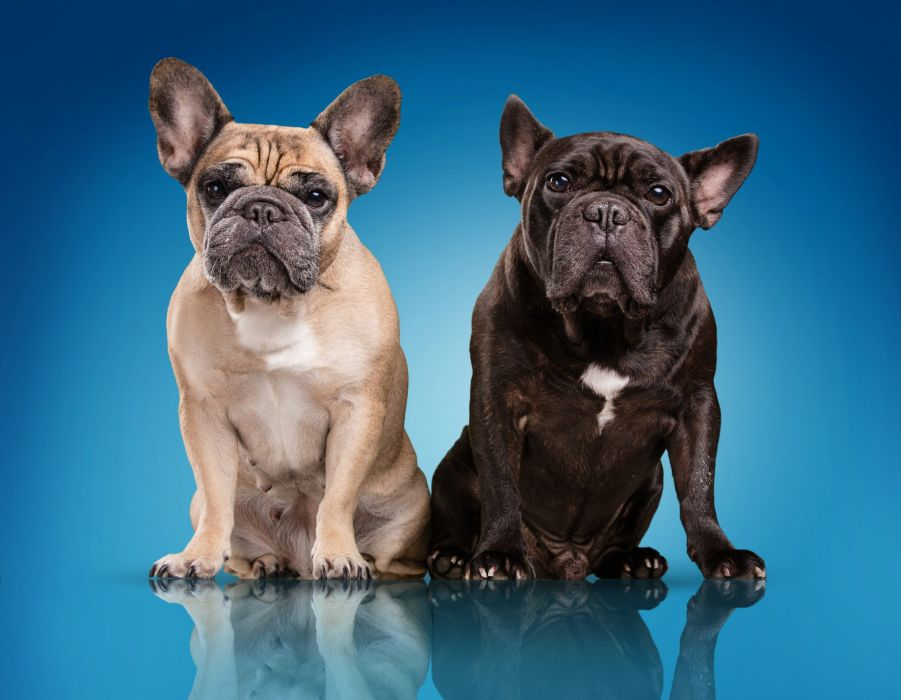 Dogs Bulldog Two Colored background Animals wallpapers wallpaper