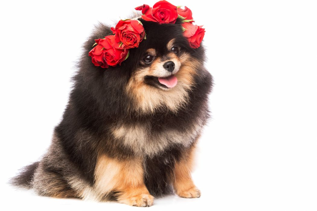 Dogs Roses Spitz White background Animals wallpapers wallpaper