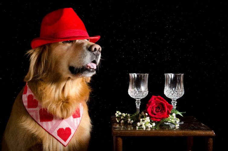 Dogs Roses Retriever Hat Two Stemware Heart Black background Animals wallpapers wallpaper