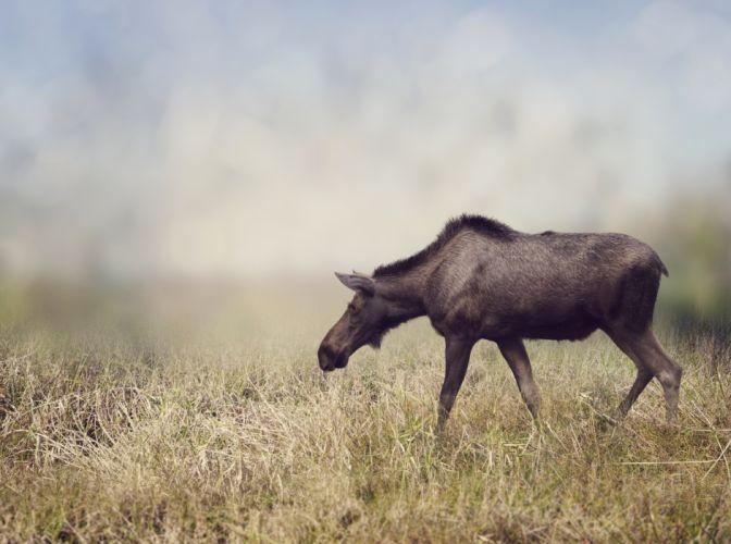 Moose Grass Animals wallpapers wallpaper