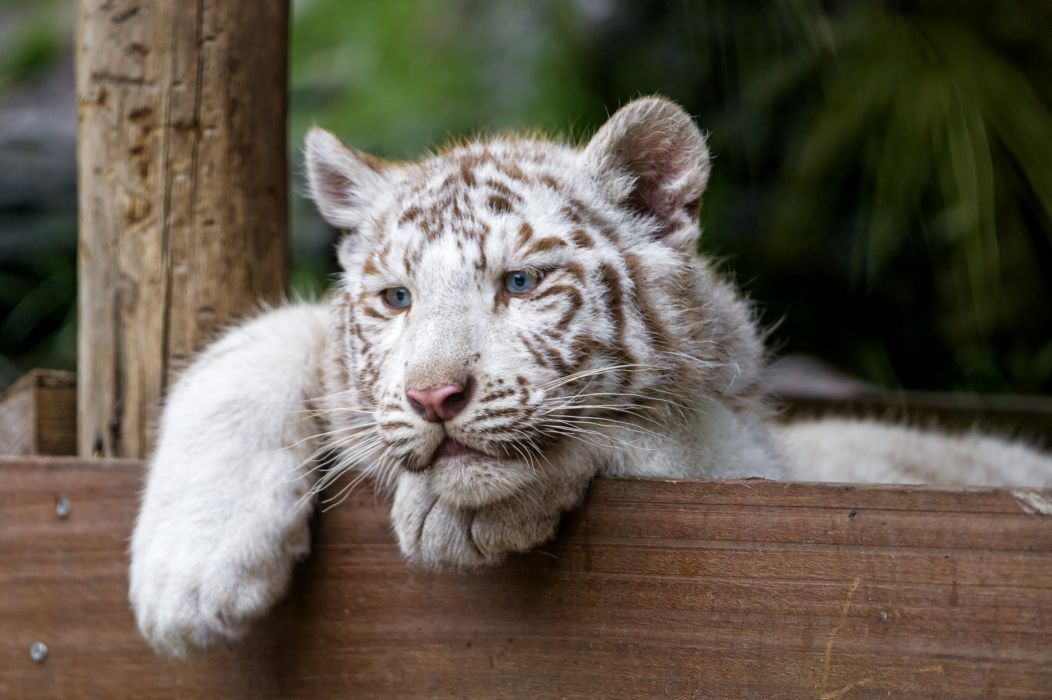 Tigers Cubs White Animals wallpapers wallpaper