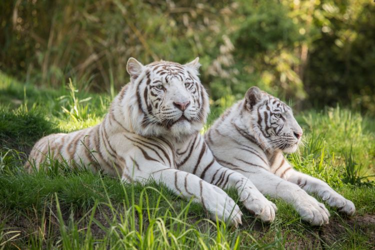 Tigers Two White Grass Animals wallpapers wallpaper