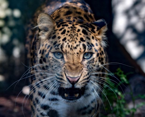 Big cats Leopards Snout Animals wallpapers wallpaper