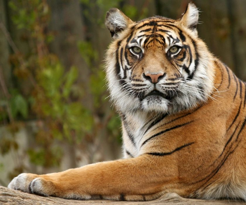 Big cats Tigers Snout Glance Animals wallpapers wallpaper