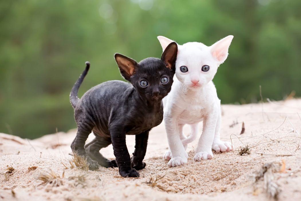Cats Kittens Two Cornish Rex Animals wallpapers wallpaper