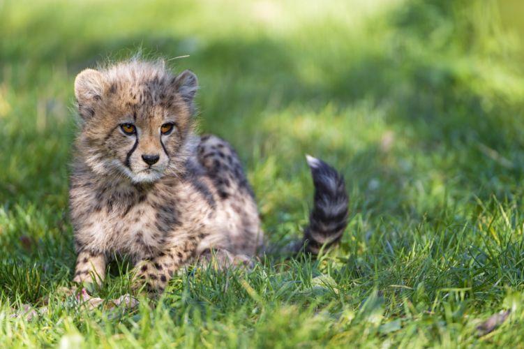 Cubs Cheetahs Grass Animals wallpapers wallpaper
