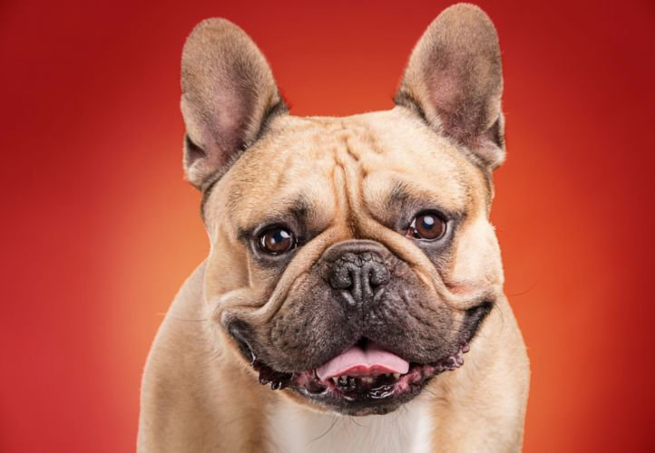 Dogs Bulldog Snout Colored background Animals wallpapers wallpaper