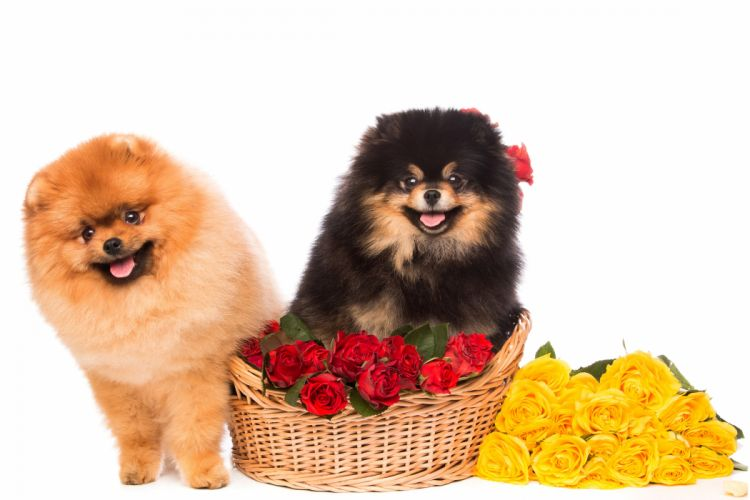 Dogs Roses Spitz Two Wicker basket White background Animals Flowers wallpapers wallpaper