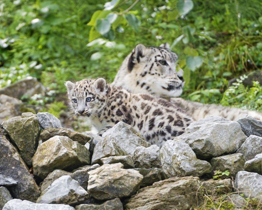 Cubs Snow leopards Stones Animals wallpapers wallpaper