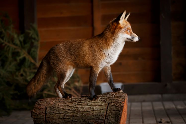 Foxes Tree stump Animals wallpapers wallpaper
