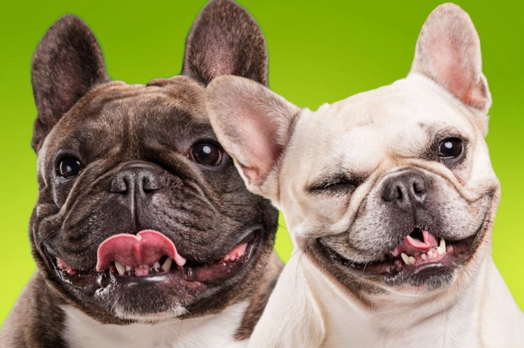Dogs Bulldog Two Snout Animals wallpapers wallpaper