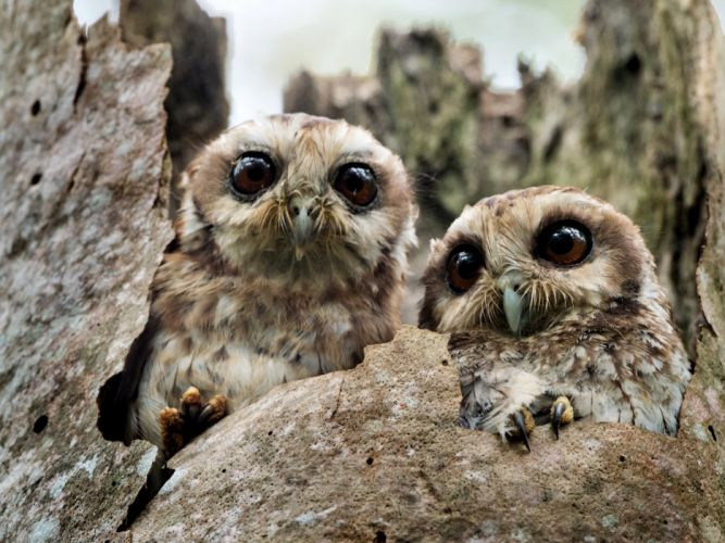 Birds Owls Two Animals wallpapers wallpaper