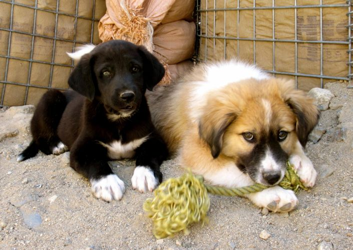 Dogs Two Afghan Hound Puppy Afghan Kuchi Dog Animals wallpapers wallpaper