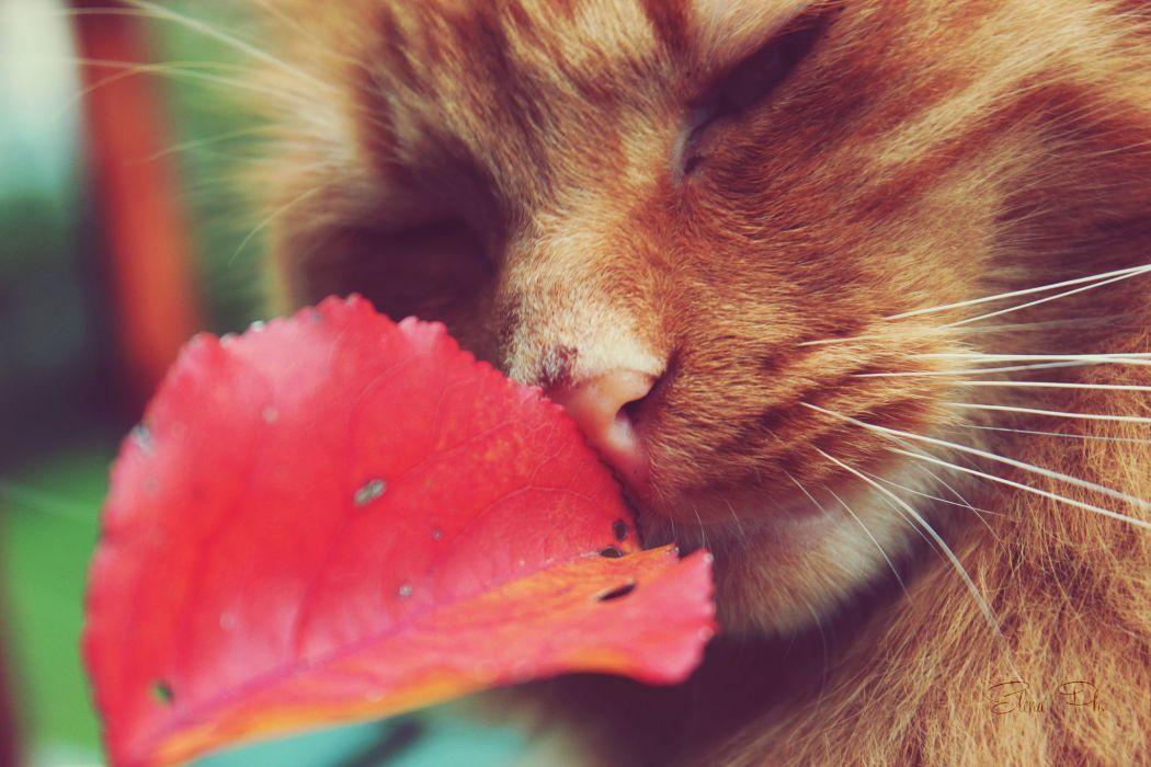 Cats Closeup Whiskers Ginger color Animals wallpapers wallpaper