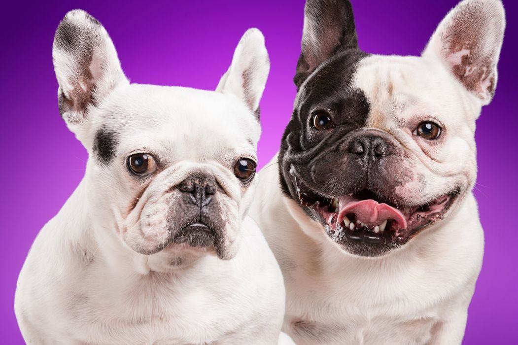 Dogs Bulldog Two Animals wallpapers wallpaper