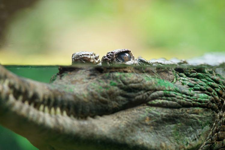 Crocodiles Water Animals wallpapers wallpaper