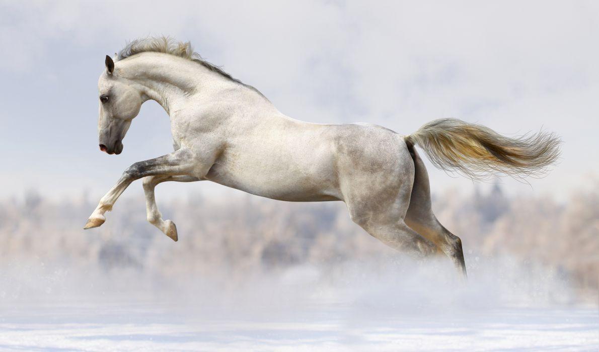 Horses Run White Animals wallpapers wallpaper