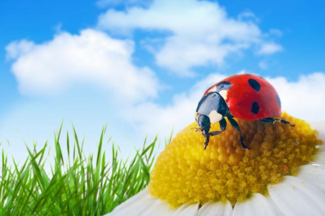 Ladybugs Closeup Camomiles Sky Drops Animals wallpapers wallpaper