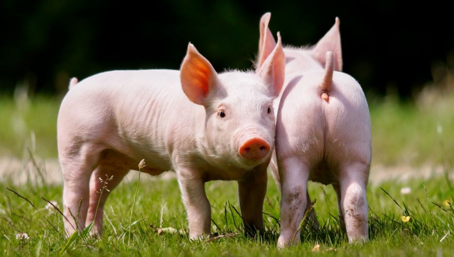 Domestic pig Two Animals wallpapers wallpaper