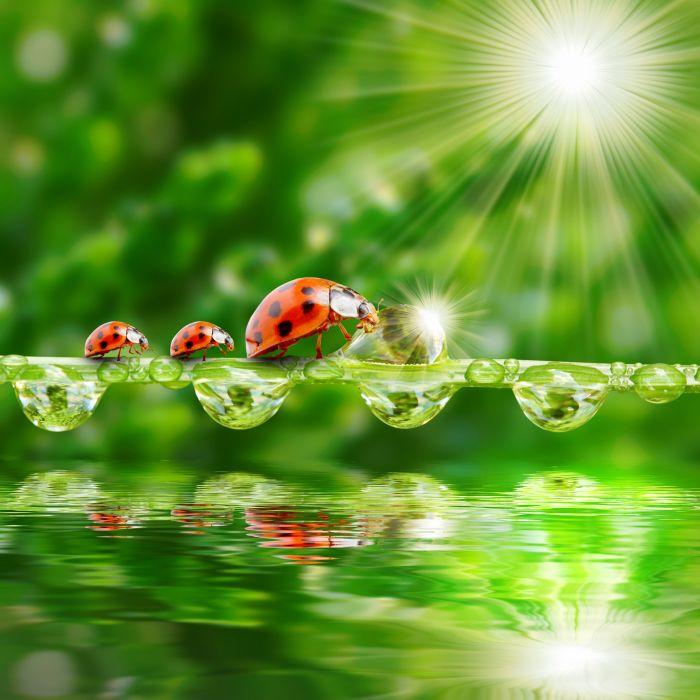 Ladybugs Water Drops Rays of light Three 3 Animals wallpaper